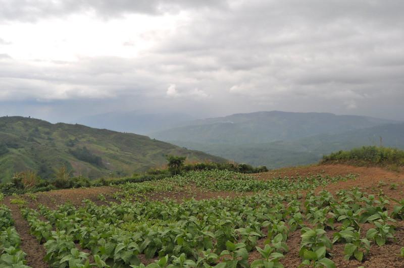 Tobacco plantations