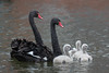 Ebony and Ivory go together - Black swans (Cygnus atratus) by Ron Winkler nature