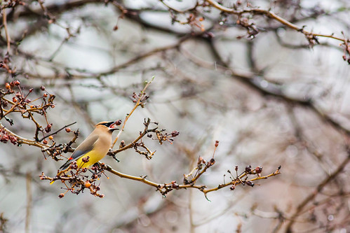 Cedar waxwing | by cricketsblog