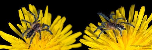 Avicularia sooretama Bertani & Fukushima 2009 | by mygale.de