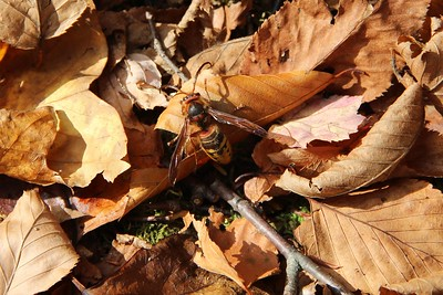 a black, yellow, and orange hornet on leaf covered ground