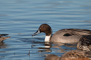 pintail | by USFWS Pacific