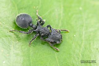 Armored ant (Cataulacus sp.) - DSC_7444