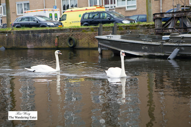 Swans swimming near our canal boat