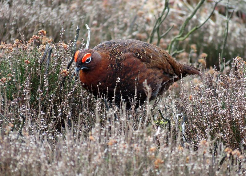 Red Grouse - Lagopus lagopus