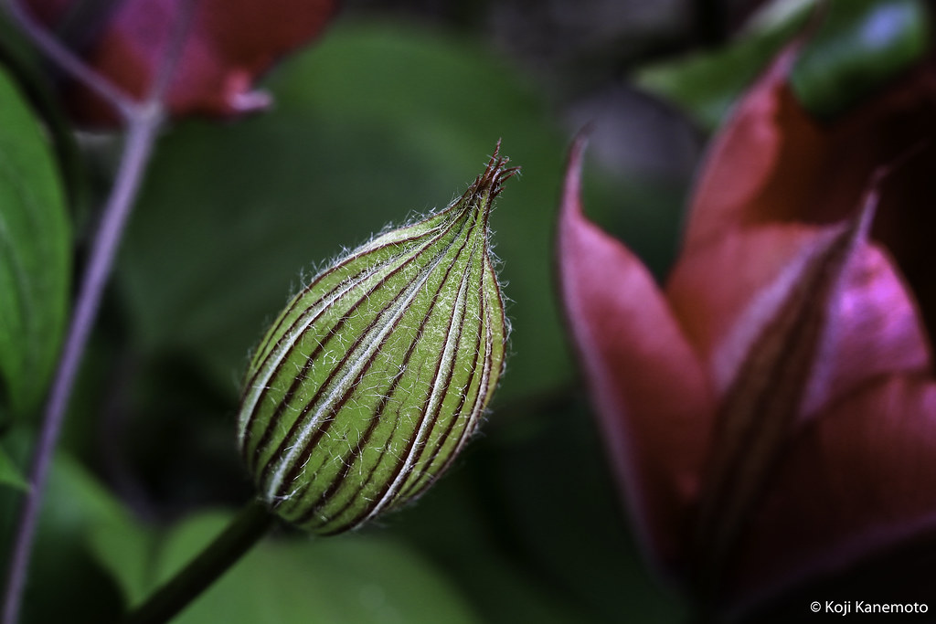Clematis Bud