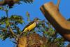 Madagascar Wagtail, Ivato, Madagascar