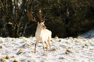 White Fallow Deer-6 | by Philip Blair's Photos