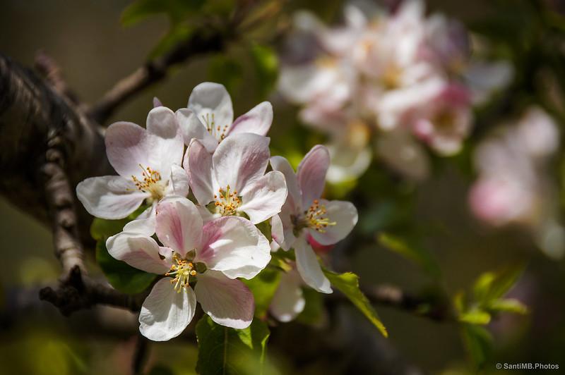 Sakura salvaje