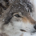 Grey Wolf by trekok, enjoying