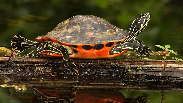 3S5X9224  Red Bellied Turtle