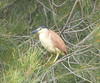 Nankeen Night-Heron... by The Pocket Rocket, On and Off.