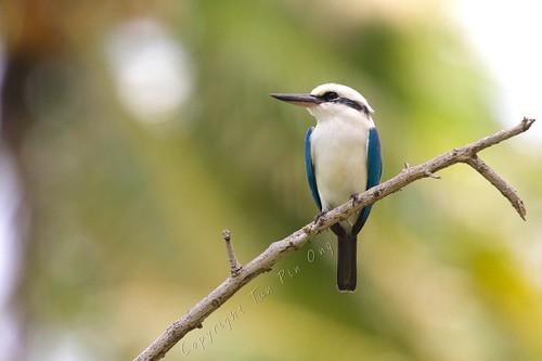 bird kingfisher 2016 tahuata marquesas criticallyendangered marquises marquesaskingfisher todiramphusgodeffroyi marquesankingfisher
