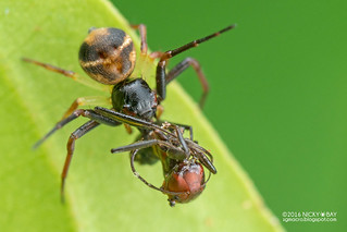 Crab spider (Thomisidae) - DSC_7450