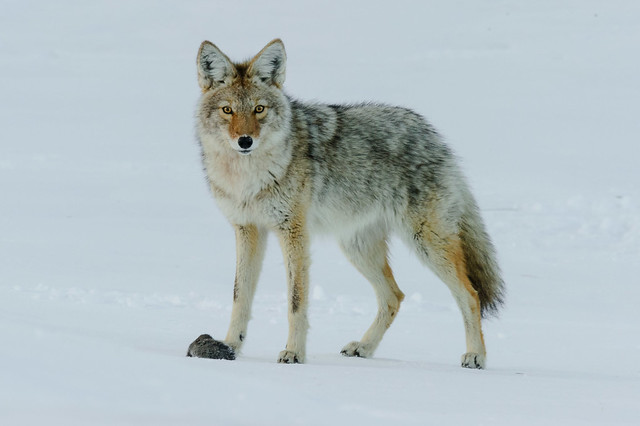 Coyote/Vole Series-8