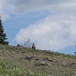Cow Elk on Ridge