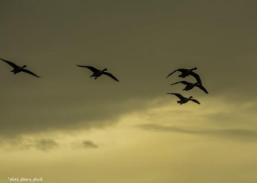 sunset nature birds flying geese unitedstates sundown southcarolina birdsinflight naturephotography