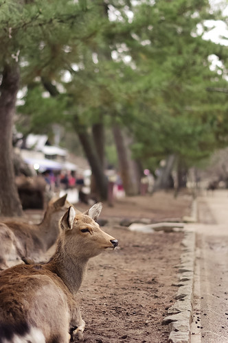 Deer at Nara Park | by Saku Takakusaki