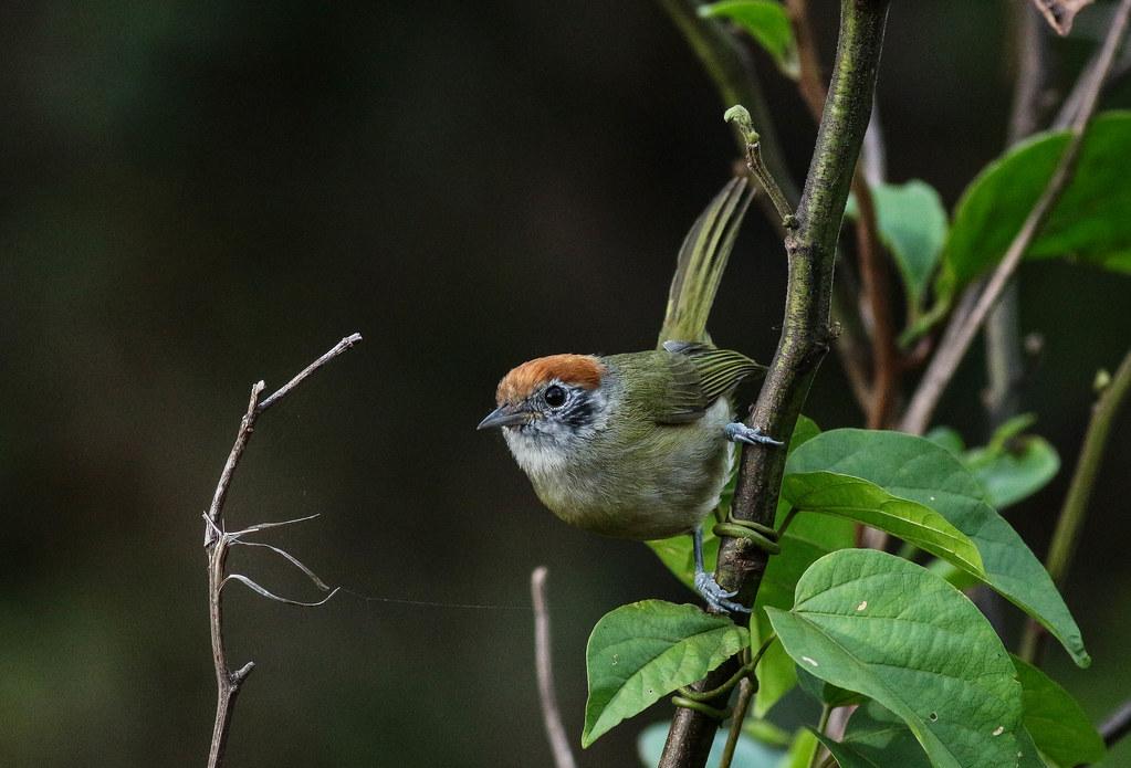 Verdinho-coroado, Rufous-crowned Greenlet (Hylophilus poicilotis)