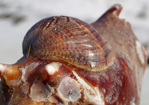 Crepidula fornicata (common Atlantic slipper snail) attached to a Strombus alatus shell (Cayo Costa Island, USA) 4
