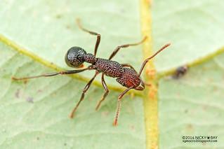 Ant (Gnamptogenys cf. menadensis) - DSC_7898