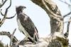 Polemaetus bellicosus  - Martial Eagle by Marc Nollet
