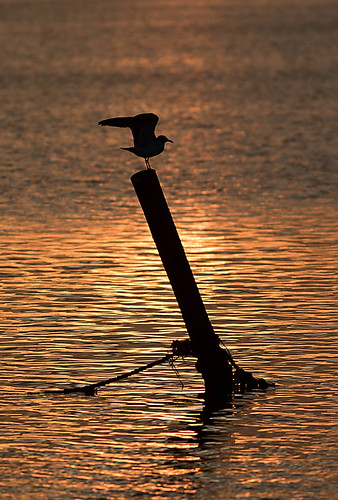 sunset bird unitedstates florida laughinggull newportrichey leucophaeusatricilla