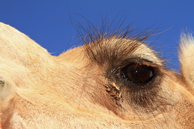 24 camel head Uluru Photography 006