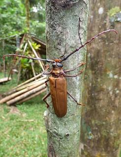 Callipogon sp. a) ?   by http://www.bigalriverbiologicalreserve.org