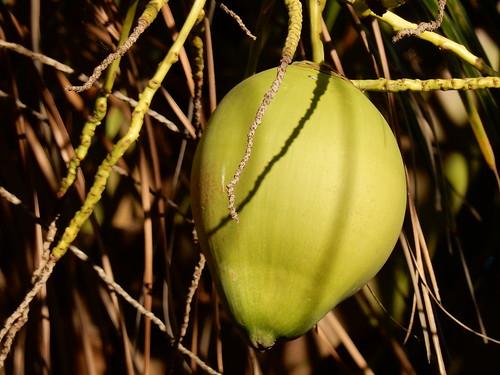 Celestino Gasco - kokosnoot