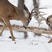 Buck Fight-47988.jpg by Mully410 * Images