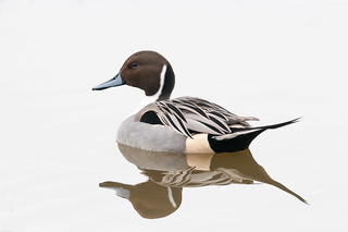 Pintail (Anas acuta) | by angus molyneux