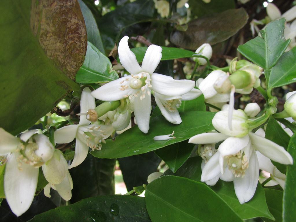 starr-150301-0356-Citrus_sinensis-Washington_navel_flowers-Hawea_Pl_Olinda-Maui