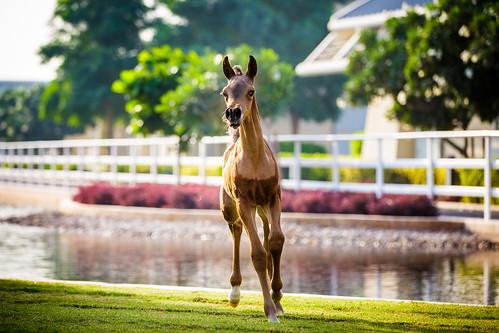 horses horse animal sunrise vibrant colourful arabian equine qatar foal