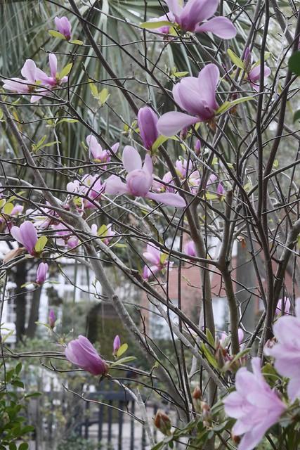 日, 2016-03-20 16:35 - Magnolia コブシ
