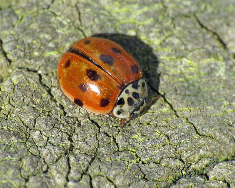 10 Spot Ladybird - Adalia decempunctata