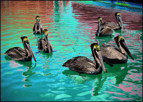 Seven Pelicans