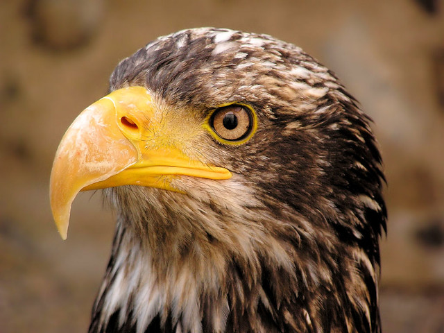 A Sea Eagle so close