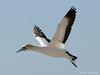 Cape Gannet (Morus capensis) by Jim Scarff