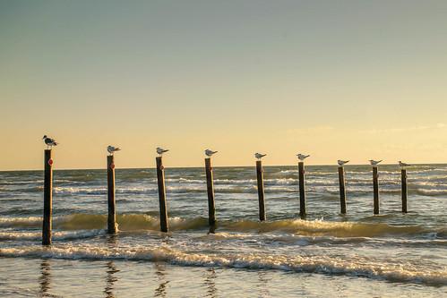 seagulls beach birds sunrise texas corpuschristi beaches mornings mustangisland whitecapbeach