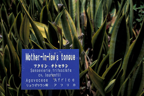 starr-980529-4162-Sansevieria_trifasciata-cv_laurentii_habit-Enchanting_Floral_Gardens_of_Kula-Maui | by Starr Environmental