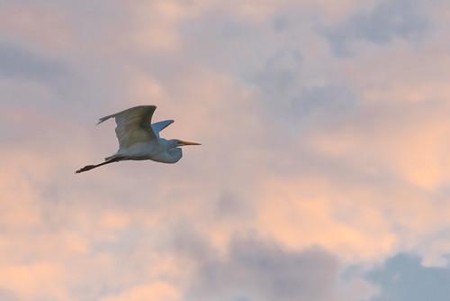 sunset bird clouds flying florida d750 egret birdrookeryswamp