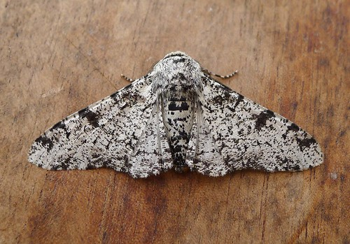 Peppered Moth. Biston betularia | by gailhampshire