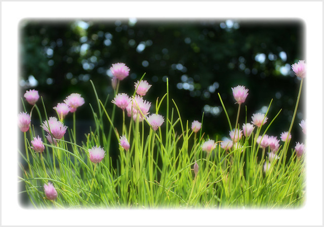 Flowering Onion Chives