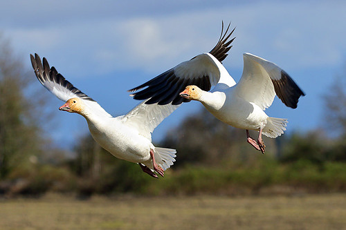 Snow Geese in flight in British Columbia, Canada.