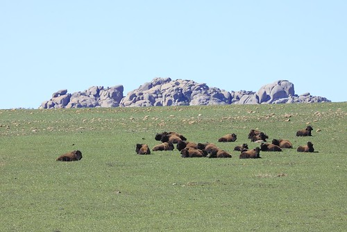 Bison On New Grass | by randystrees