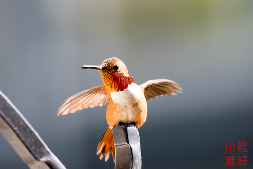 Male Rufous Hummingbird (Selasphorus rufus) | by DragonSpeed