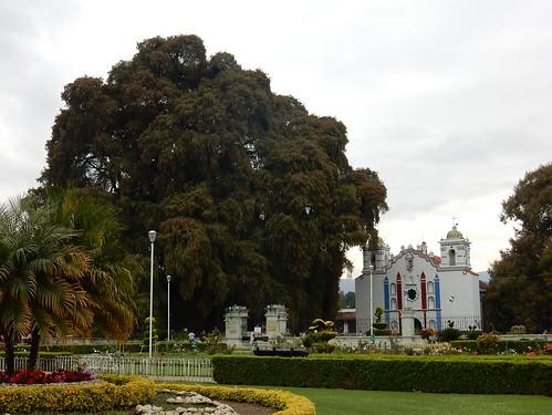 El Tule - grote boom - 1