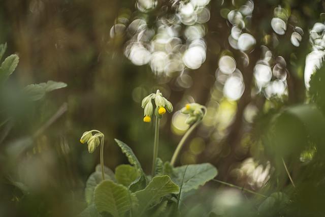 Cowslip | Primula veris | Primulaceae | | Cows Lip Not Cow Slip