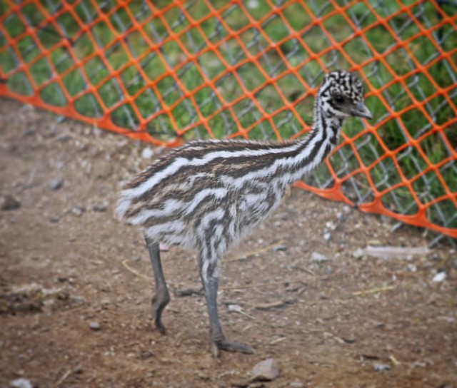 The an #emu hatchling!